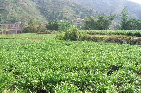 中国茶 畑
